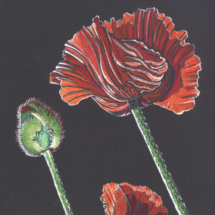 fb-poppies-risingcopy-copy